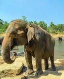 Słoń kłujka Sri Lanka Zdjęcia Stock