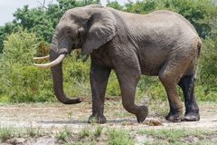 Słoń krzyżuje polanę w krzakach obraz royalty free