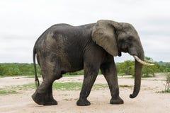 Słoń krzyżuje suchą polanę w parku obraz royalty free
