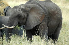 słoń matka Obrazy Royalty Free