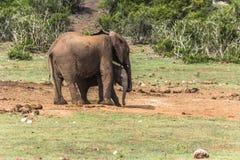 Słoń matka z dzieckiem w Addo słonia parku afryce kanonkop słynnych góry do południowego malowniczego winnicę wiosna Zdjęcie Royalty Free
