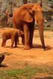 Słoń. Matka z dziecko słoniami Chodzi Outdoors. Zdjęcia Stock
