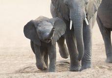 Słoń matki i łydki ładunek w kierunku wodopoju zdjęcia royalty free