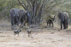 Słoń matki i łydki ładunek w kierunku wodopoju obrazy stock