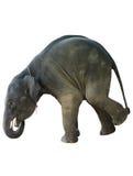 Słoń na białym tle Obrazy Stock