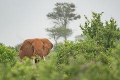 Słoń na krzaku w Kenja Zdjęcie Stock