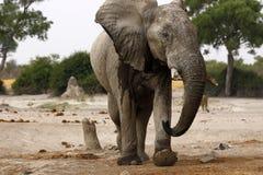 Słoń na punkcie obserwacyjnym dla lwów Zdjęcie Royalty Free
