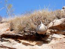 Słoń Nożna roślina na skalistej ziemi, endemiczna roślina Madagascar Obraz Stock