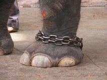 słoń noga obraz royalty free