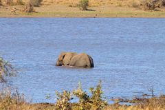 Słoń od Kruger parka narodowego, Loxodonta africana Obraz Royalty Free