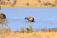 Słoń od Kruger parka narodowego, Loxodonta africana Zdjęcia Stock