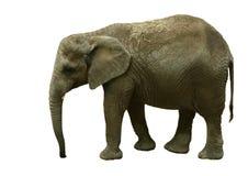 słoń odizolowane Obrazy Royalty Free