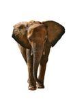 słoń odizolowywający Obrazy Royalty Free