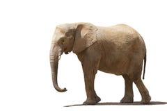 Słoń odizolowywający na białym tle Zdjęcie Royalty Free