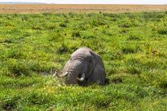 Słoń odpoczywa w bagnie Amboseli, Kenja Obraz Royalty Free