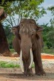 Słoń Okładzinowa kamera z ucho Przedłużyć i Fryzującymi zdjęcia stock