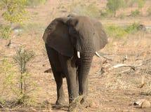 Słoń patrzeje dla jedzenia podczas suszy Obraz Stock