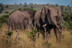 Słoń pełno błoto wącha wokoło obraz royalty free