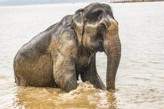 Słoń po błotnistego rzeki skąpania - wstający od rzeki obrazy royalty free