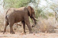 Słoń pozycja Fotografia Stock
