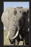 Słoń przy lunchem Obrazy Royalty Free