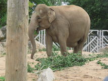Słoń przy safari parkiem w UK Zdjęcia Royalty Free