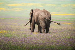 Słoń przy Serengeti parkiem narodowym, Tanzania, Afryka Obraz Royalty Free
