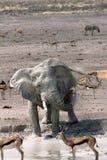 Słoń przy Waterhole Obraz Stock