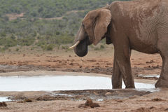 Słoń przy waterhole Zdjęcie Royalty Free