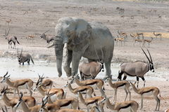 Słoń przy Zatłoczonym Waterhole Obraz Royalty Free