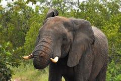 Słoń przygotowywający ładować Fotografia Stock