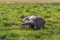 Słoń ratują od upału w bagnie Amboseli, Kenja Zdjęcie Stock