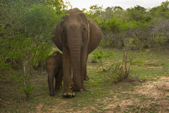 Słoń rodzina Obraz Royalty Free
