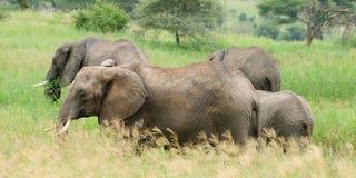 Słoń rodzina, Afryka Fotografia Stock