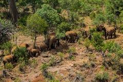 Słoń rodzina w Afryka natury dzikim życiu Obraz Royalty Free