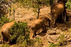 Słoń rodzina w Afryka natury dzikim życiu Fotografia Royalty Free