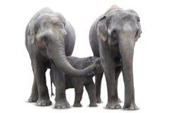 Słoń rodzinna pozycja wpólnie karmi dziecku Afrykańskiego słonia, odizolowywającego na białym tle - mamusi pierś - zdjęcie stock