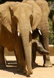 Słoń rodziny moment Zdjęcia Royalty Free