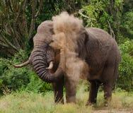 Słoń rzuca pył Afryka Kenja Tanzania kmieć Maasai Mara Zdjęcie Stock