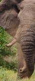Słoń rzuca pył Afryka Kenja Tanzania kmieć Maasai Mara Zdjęcia Royalty Free