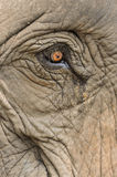 Słoń słoń, zamyka w górę strzału Obraz Royalty Free