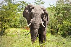 słoń samiec Zdjęcie Stock