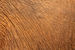 słoń skóra zdjęcia stock