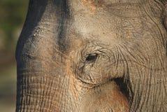 słoń stary zdjęcie stock