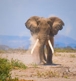 słoń stary Zdjęcia Royalty Free
