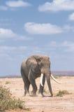 słoń stary Obraz Stock