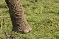 Słoń stopa na obszarach trawiastych Zdjęcie Stock