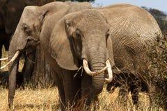 Słoń Tusker Obraz Stock
