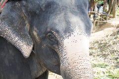 Słoń twarz Fotografia Stock