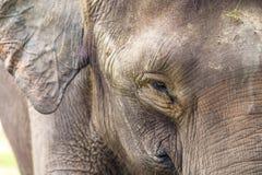 Słoń twarz Zdjęcia Royalty Free